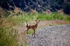 Estrada alerta de Fawn Deer Looks Down Gravel fotos de stock