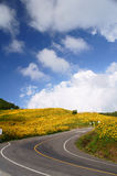 A estrada ao mexicano Sunflowe Foto de Stock Royalty Free