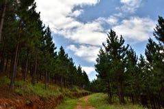 Estrada através da plantação do pinho Fotografia de Stock Royalty Free