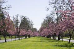 Estrada cor-de-rosa da árvore da flor Fotos de Stock Royalty Free