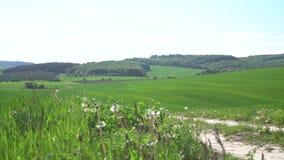 A estrada cruza um campo de trigo verde video estoque