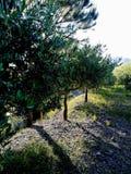 A estrada das oliveiras imagem de stock royalty free