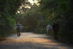 Estrada das vacas na vila com as árvores em ambos Índia do lado Fotos de Stock