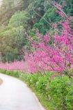 Estrada de Cherry Blossom Pathway em Chiang Mai, Tailândia imagem de stock