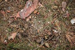 a estrada de floresta ? coberta com os cones, casca, agulhas, galhos pequenos imagem de stock
