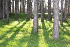 Floresta na luz traseira Foto de Stock