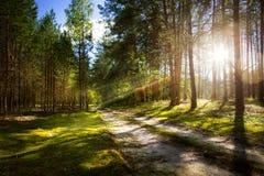 Estrada de floresta na floresta velha do pinho com raios do sol de aumentação Imagem de Stock