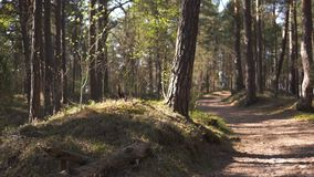 Estrada de madeira - floresta B?ltico do pinho de Europa Oriental com as ?rvores sempre-verdes velhas altas que apontam acima no  video estoque