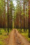 Estrada de terra em uma floresta do pinho Imagens de Stock