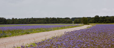 Estrada do campo, campos de flor azuis foto de stock
