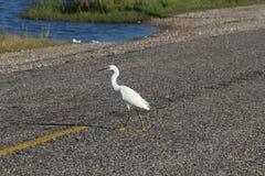 Estrada do cruzamento do egret nevado Imagens de Stock