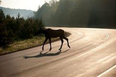 Estrada do cruzamento dos alces no amanhecer imagem de stock royalty free
