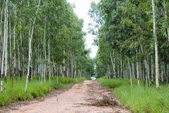 Estrada do eucalipto Fotografia de Stock