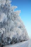 Estrada do inverno com madeira de vidoeiro Fotografia de Stock Royalty Free