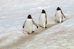 Estrada do pinguim de Gentoo, Continente antárctico Fotos de Stock Royalty Free