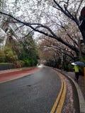 Estrada e flores de cerejeira de Dalmaji-gil Imagens de Stock