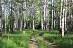 Estrada em um bosque do vidoeiro fotografia de stock royalty free