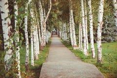 Estrada em um bosque do vidoeiro da mola fotos de stock royalty free