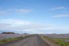 Estrada entre lupines em Islândia Imagens de Stock Royalty Free