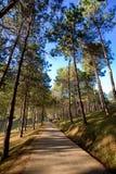 Estrada entre pinheiros Fotografia de Stock Royalty Free