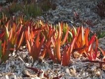 Estrada iceplant ou Hottentot-figo na praia Foto de Stock Royalty Free