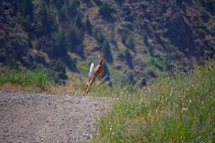 Estrada limitando de Fawn Deer Runs Along Side fotografia de stock royalty free