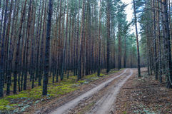 Estrada na floresta densa do pinho Imagens de Stock Royalty Free