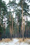 Estrada na floresta do pinho Imagem de Stock Royalty Free