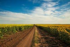 Estrada no campo de florescência do girassol que cultiva a paisagem rural Imagem de Stock Royalty Free