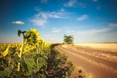 Estrada no campo de florescência do girassol que cultiva a paisagem rural Fotografia de Stock