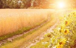 Estrada no campo e no girassol de trigo Campo de trigo Fotos de Stock Royalty Free