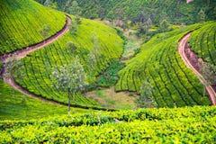 Estrada no monte coberto de vegetação por arbustos do chá Foto de Stock Royalty Free