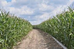 Estrada pequena através de um campo de milho Imagens de Stock Royalty Free