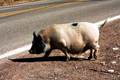 Estrada Pig-1 Fotografia de Stock Royalty Free
