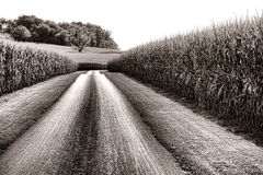 Estrada secundária e campos de milho altos em América rural imagens de stock royalty free