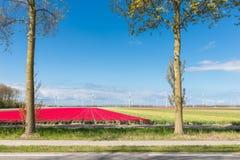 Estrada secundária holandesa com campos e as turbinas eólicas coloridos da tulipa Fotos de Stock