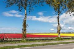 Estrada secundária holandesa com campos e as turbinas eólicas coloridos da tulipa Fotografia de Stock