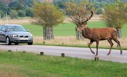Estrada selvagem do cruzamento do veado dos veados vermelhos pelo carro fotos de stock