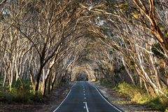 Estrada vazia através da madeira do eucalipto austrália Dia ensolarado imagem de stock royalty free