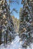 Estrada vazia nevado na floresta conífera no dia de inverno ensolarado Foto de Stock Royalty Free