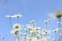 Estrades sauvages atteignant pour le soleil d'été Photographie stock libre de droits
