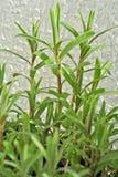 Estragón, hierba Fotos de archivo