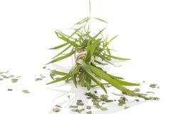 Estragon Artemisia dracunculus Στοκ εικόνα με δικαίωμα ελεύθερης χρήσης