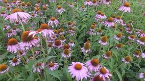 Estragon herbs in a row stock video footage