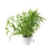 Estragonowy odwiecznie aromatyczny kulinarny ziele zdjęcie stock