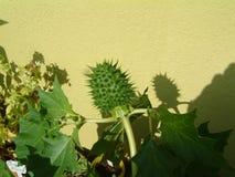 Estramônio verde no jardim imagens de stock royalty free