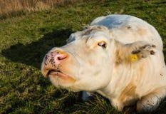 Estranho-olhando a vaca branca do fim Imagem de Stock