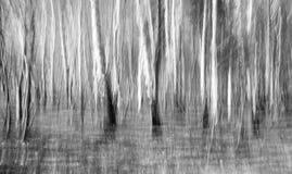 Estratto del boschetto della betulla Fotografia Stock