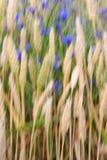 Estratto del campo di frumento Fotografie Stock