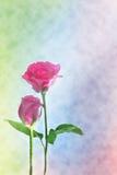 Estratto del fondo di Rosa (buon per materiale illustrativo, la carta da parati e la progettazione decorativa) Fotografie Stock